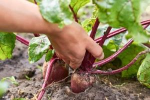 Beet-Harvest-bigstock-200807065-1024x683